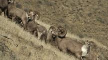 Bighorn Sheep Mating Activity Large Ram Dominating