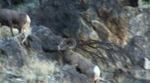 Bighorn Sheep Mating Activity Large Ram Follows Ewe Through Rocks