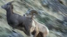 Bighorn Sheep Mating Activity Young Ram Chases Ewe Copulates Then Is Chased Away By Dominant Ram