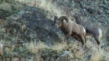 Bighorn Sheep Mating Activity Dominant Ram Following Ewe