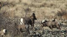 Bighorn Sheep Mating Activity Ram Rejected By Ewe