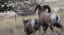 Bighorn Sheep Dominant Ram Copulates With Ewe