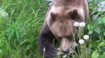 Brown Bear Feeding On Lush Spring Dandelions