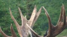 Moose Bull With Unusual Antlers Closeup