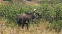 Moose Cow With Bull In  The Alders In Background
