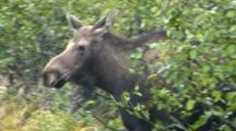 Moose Cow Emerging From Alders