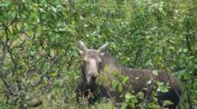 Moose Cow Feeding In Alders
