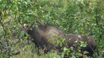 Moose Cow In Alders