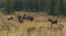 Moose Herd, Bull With Large Antlers With Cows And Satellite Bulls