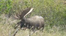 Moose Bull Large Antlers Charging Into Alder Brush