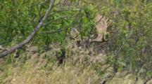 Moose Bull Large Antlers Emerging From Alder Brush