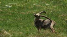 Alpine Ibex Male Scratching Hind Leg With Horn During Spring Moult Exits Frame