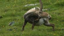 Alpine Ibex Male Scratching Hind Leg During Spring Moult