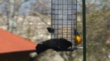 Red-Winged And Yellow-Headed Blackbirds At Feeder