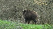 European Wild Boar Rubbing Sapling In Scrub