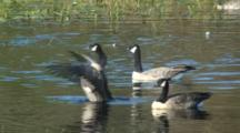 Canada Goose Flock Resting On A Pond One Flaps Wings