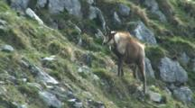 Chamois Feeding And Walking To Camera