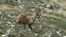 Chamois Walking Then Scratching