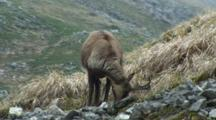 Chamois Feeding Then Bedding Down