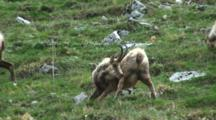 Chamois Moulting Scratches Itch