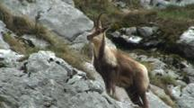 Chamois Watching Chewing Cud Exits Frame