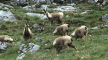 Chamois Herd Feeding Among Rocks Nervous Of Dominant Doe
