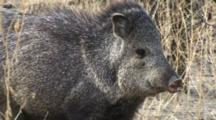 Collared Peccary Flees