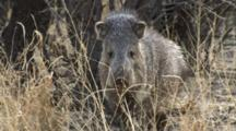 Collared Peccary Approaches Aggressively In Long Grass