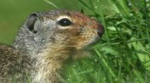 Columbian Ground Squirrel Feeding In Long Wet Grass