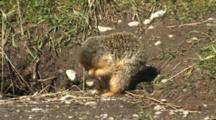 Columbian Ground Squirrel Grooming At Burrow Entrance