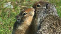 Columbian Ground Squirrel Kiss