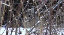 Cottontail Rabbit Hiding In Brambles