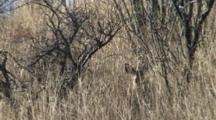 Coues Deer Bedded In Long Grass