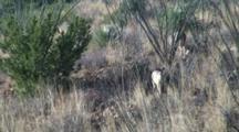Coues Deer Feeding In Ocotillo