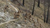 Elk Cows Large Herd Fleeing In Burnt Forest