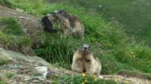 Alpine Marmot Family Including Juvenile