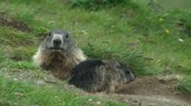 Alpine Marmot Family Adult Grooming Juvenile