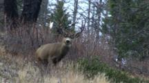 Mule Deer Buck Walks Away Uphill After Fight