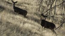Mule Deer Buck With Doe Watching Doe Exits Frame