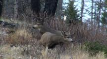 Mule Deer Bucks After Fight Smaller Buck Walks Away