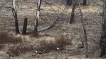 Mule Deer Doe And Fawns Walking In Burnt Forest