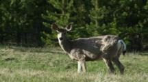 Mule Deer Doe Feeding On Spring Growth In Forest Clearing