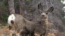 Mule Deer Fawn Closeup
