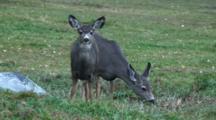 Mule Deer Feeding In The Yard Closeup
