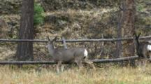 Mule Deer Doe And Fawns Jumping Through Fence