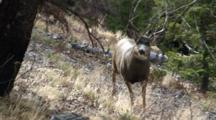 Mule Deer Buck During The Rut Approaches