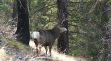 Mule Deer Buck During The Rut Snorts Nervously And Trots Away