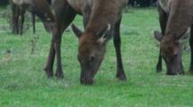 Roosevelt Elk Cows Grazing Closeup