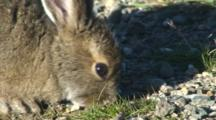 Snowshoe Hare Eating Soil For Minerals