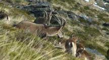 Spanish Ibex Herd Rams And Ewes Feeding